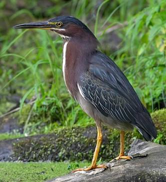 http://www.fnal.gov/ecology/wildlife/pics/Green_Heron.jpg