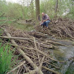 how to stop beavers from building dams