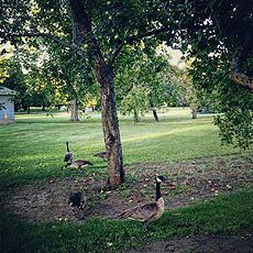 nature, birds, geese, Village