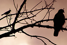 nature, animals, birds, silhouette, hawk, blackbird