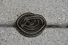 nature, animal, reptile, snake, common garter snake, wildlife