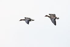 nature, wildlife, animal, bird, goose