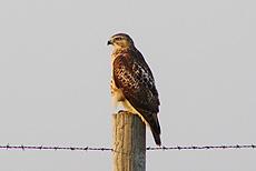 nature, bird, hawk