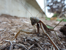 nature, wildlife, animal, insect, praying mantis