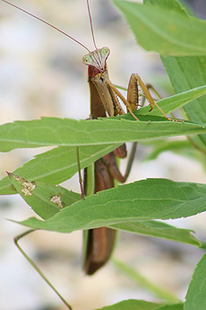 nature, animal, insect, praying mantis
