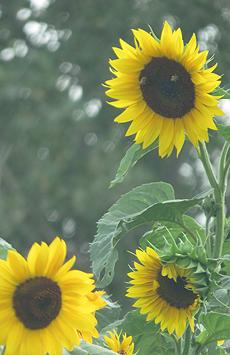 nature, flower, sunflower, garden