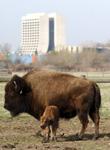 Fermilab's buffalo
