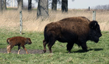 Baby bison with mom