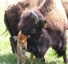 Bison baby with mom