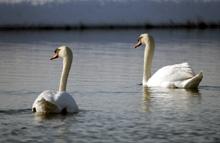 Fermilab swans