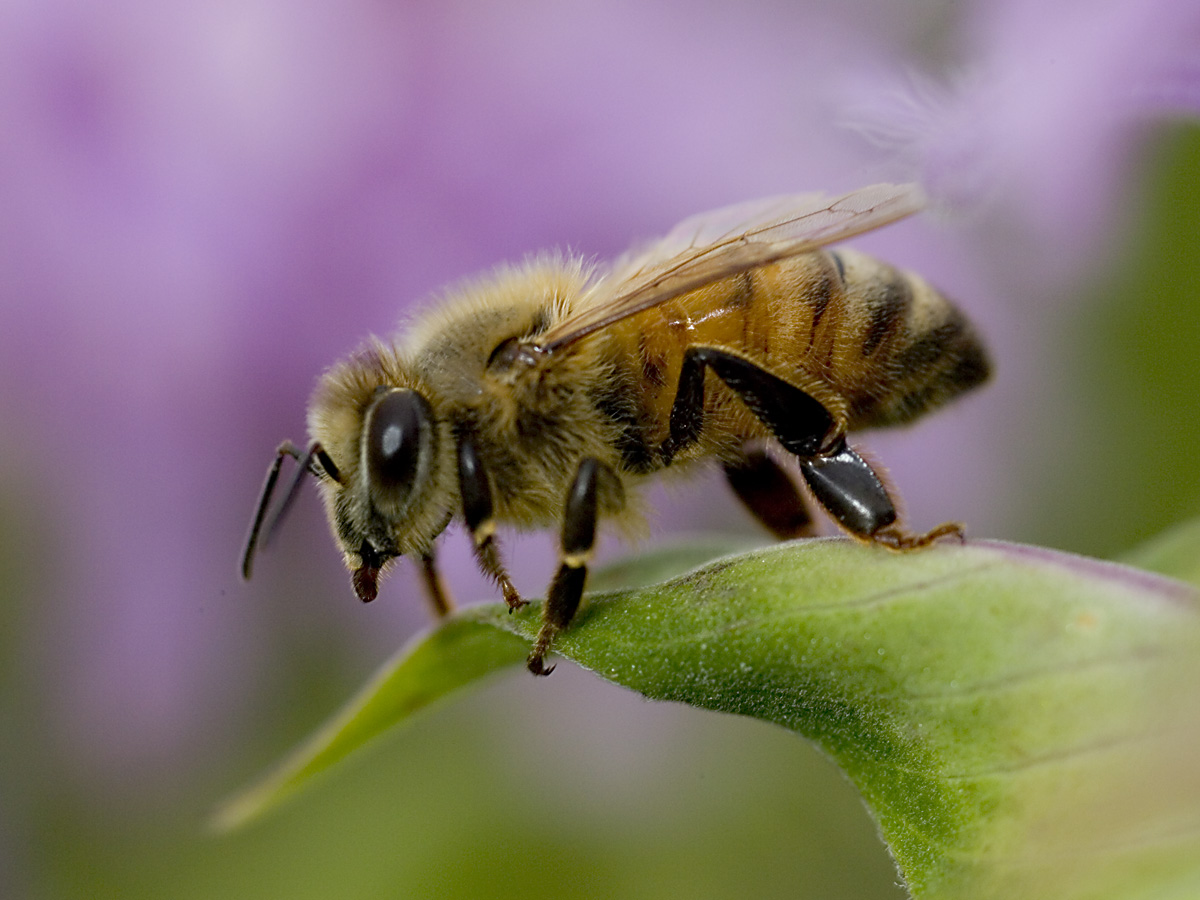 honeybee settles onto a wildflower at Fermilab (Click on image for ...
