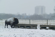 Bison at Fermilab