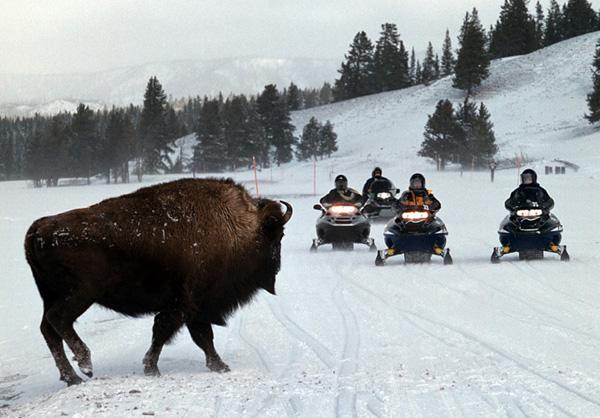 Snowmobiles In Yellowstone National Park Sutori