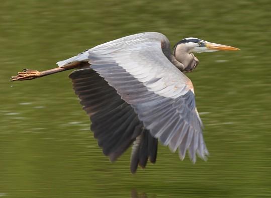external image Great_Blue_Heron.jpg